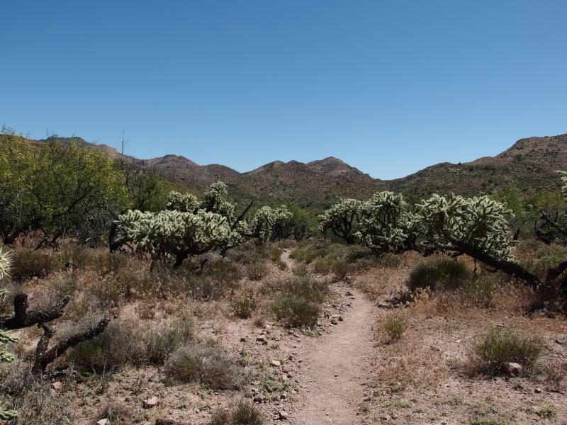 Cholla trees along the path