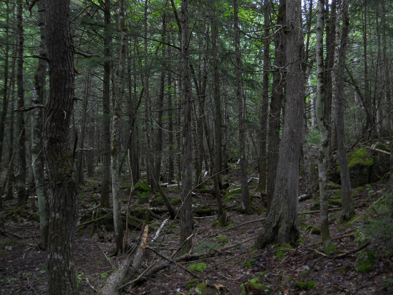Cedar forest near the Elm Creek swamp