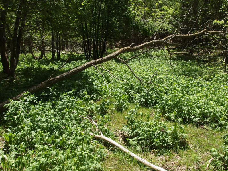 Thick crop of invasive plants