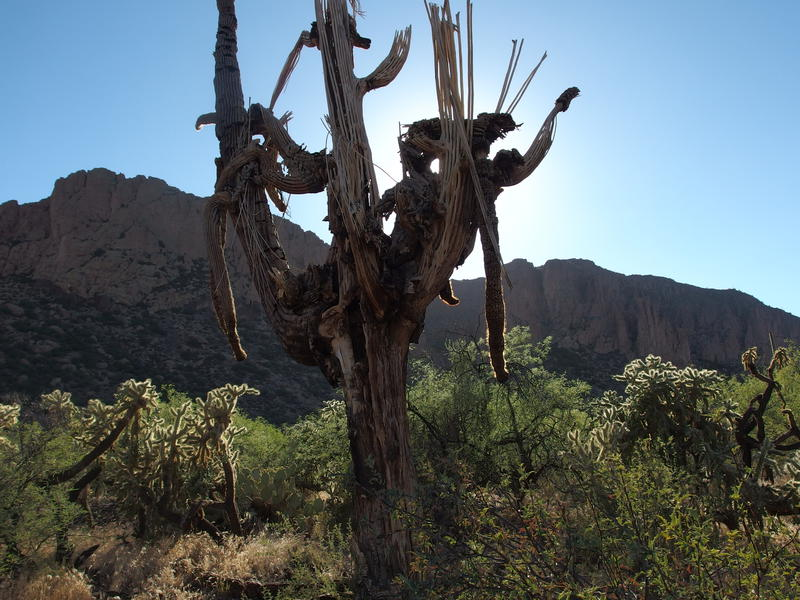 Somber remains of a huge saguaro