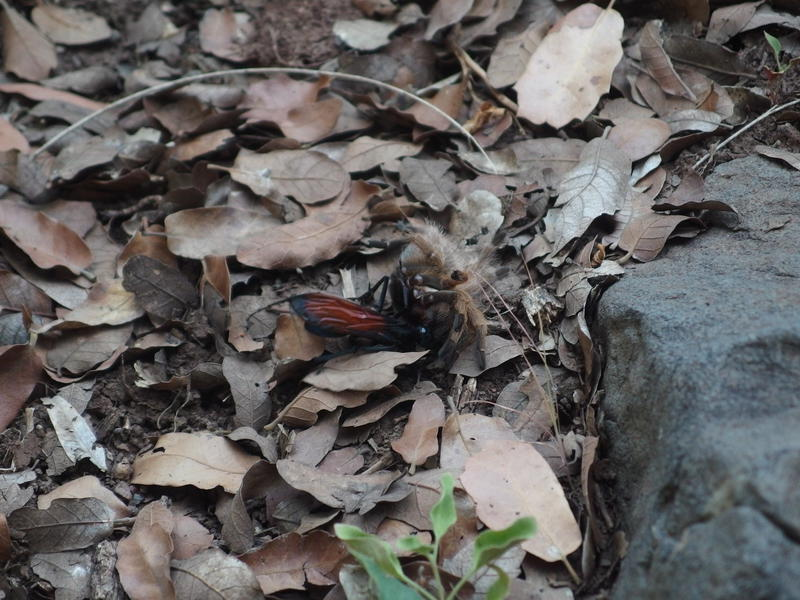 Tarantula hawk and prize