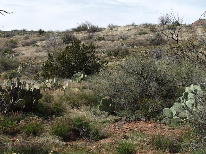 Prickly cacti, brush, and rocky ground