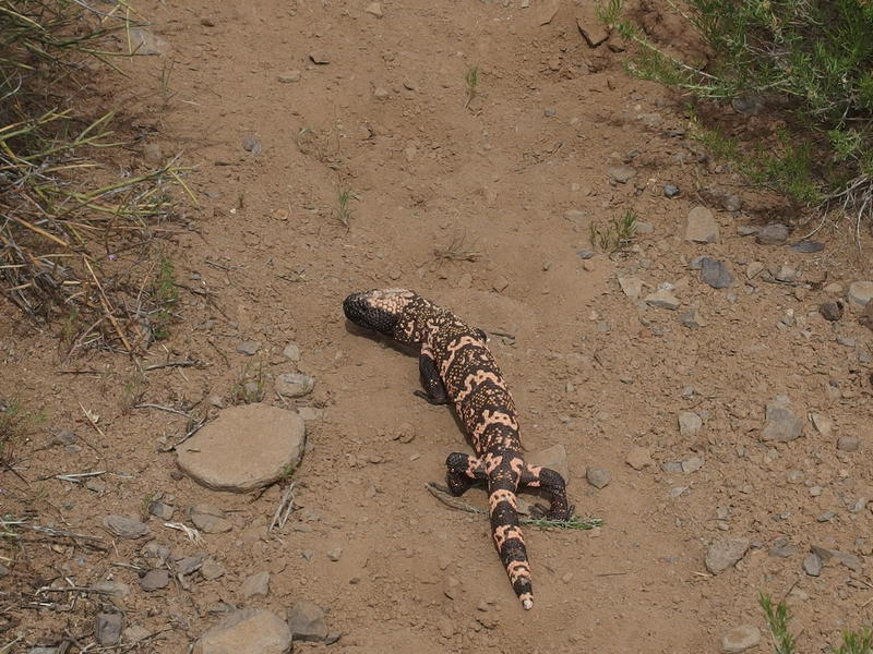 Slow-moving Gila Monster on the path