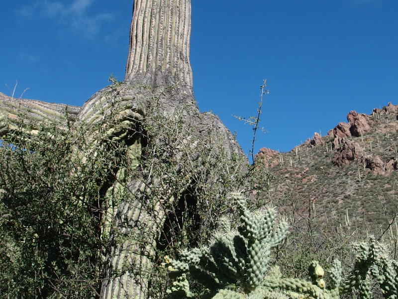 Sometimes saguaros forget how to grow