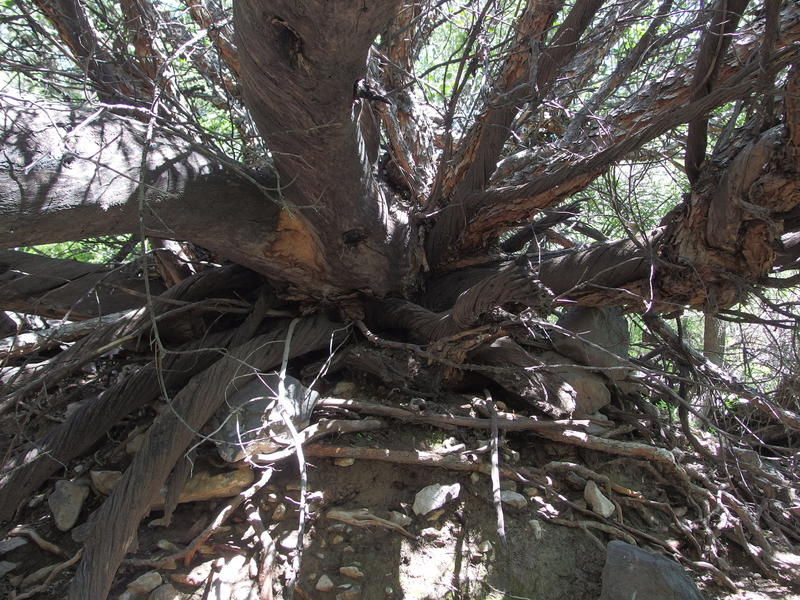 Awesome, ancient tree branches above the spring