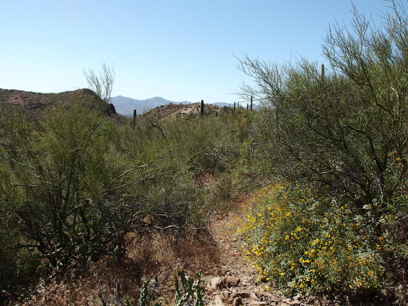Terrible bushwhacking section through Palo Verde and cactus