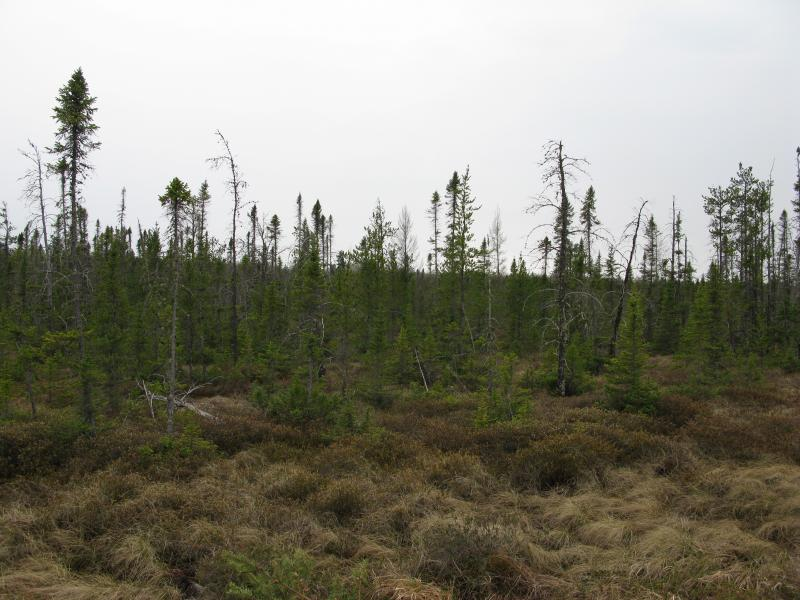Half-dead trees in a swamp