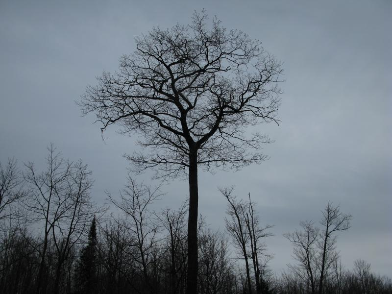 Tall bare tree against the grey sky