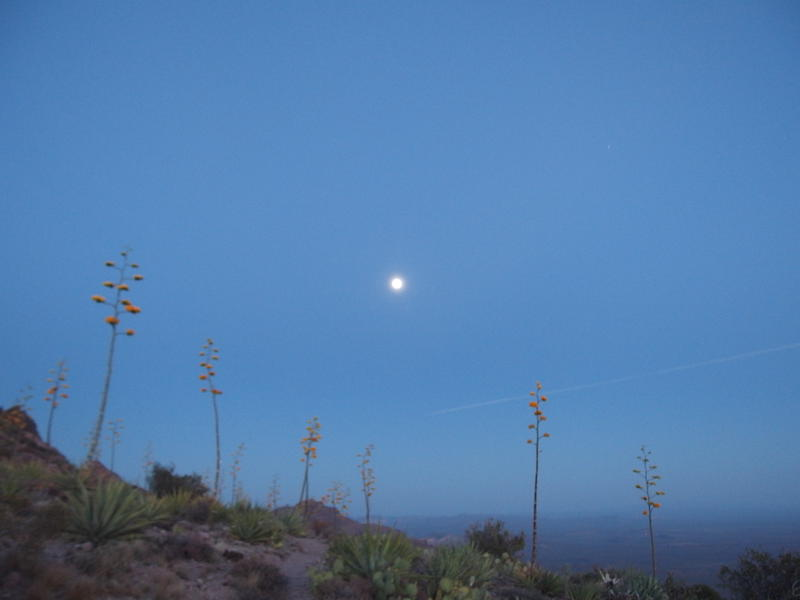 The full moon over agaves
