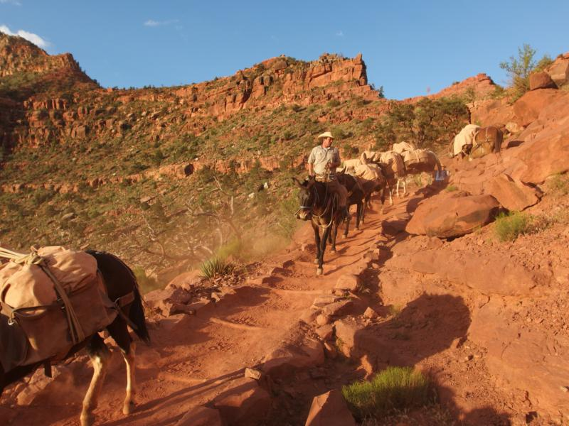Mule trains coming down the trail