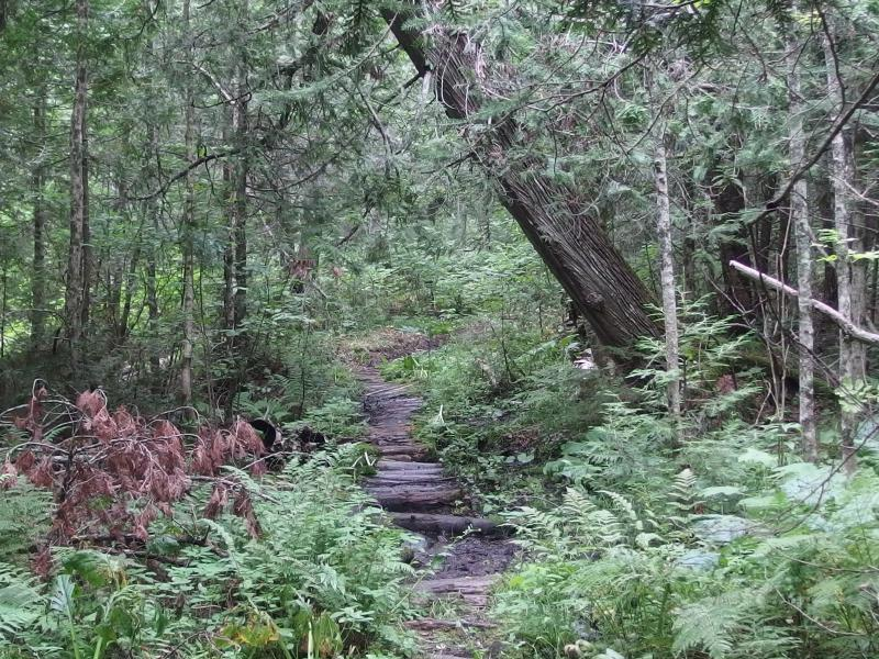 Winding wooden path through the cedar swamp