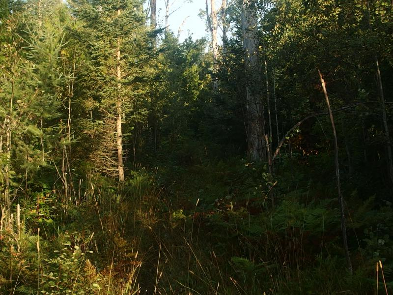 Close woods along a swampy stretch of trail