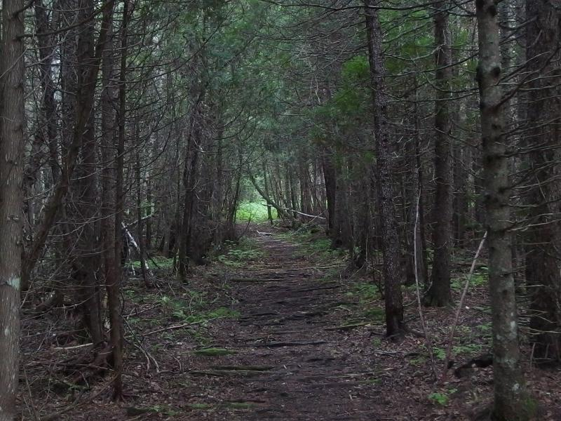 A wide path through the pine forest