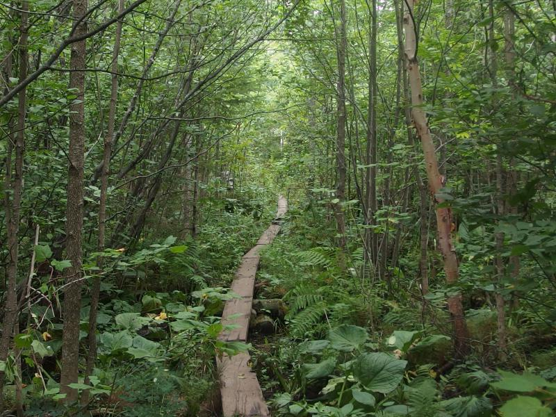 Winding boardwalk through thick brush
