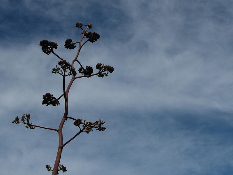 Lonely agave against the blue sky