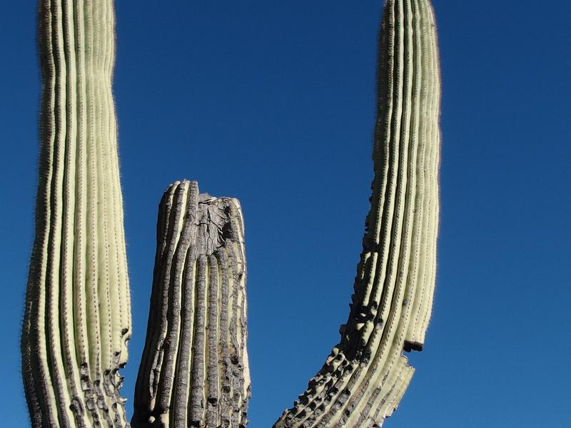 Old wound on the saguaro
