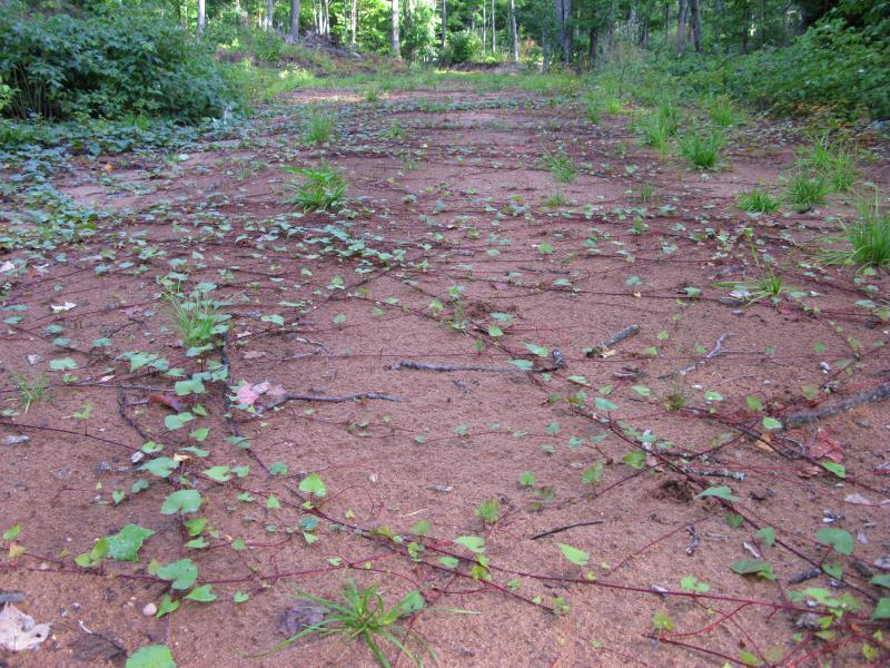 Vines criss-crossing the sandy logging road