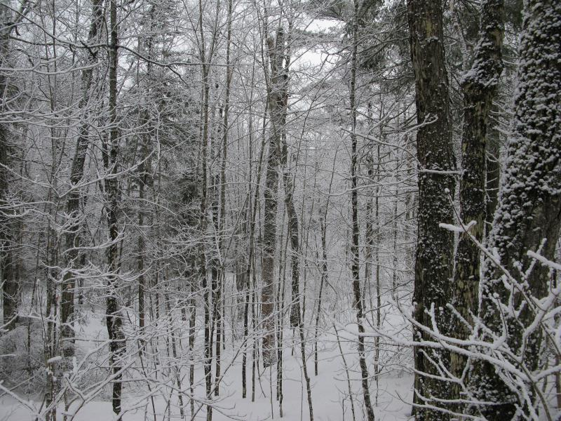 Beautiful snowy woods