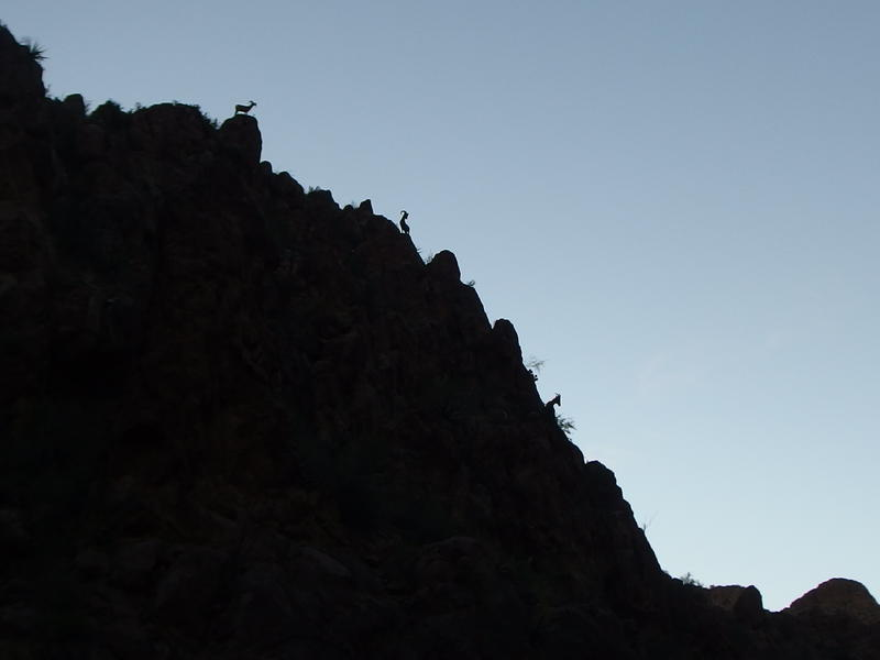 Desert bighorn sheep high above me
