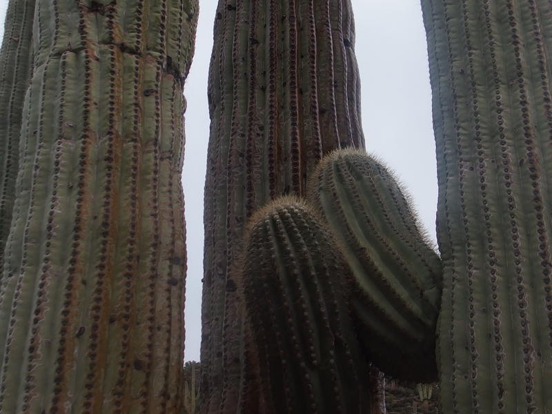 Saguaro engorged from the downpour