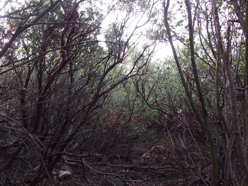 Some thick manzanita growth along the trail