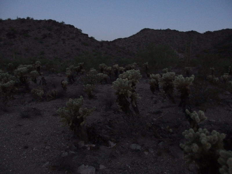 A dark field of chollas