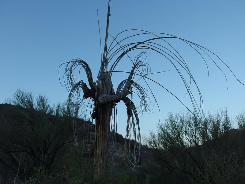 An unclothed saguaro