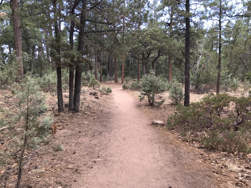 Pleasant hiking under big pines