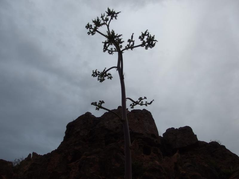 Agave plant standing against the sky