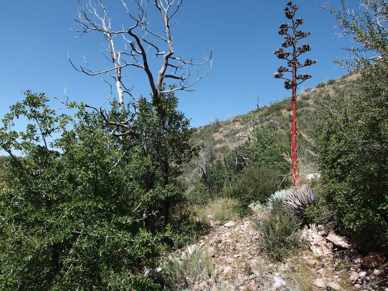 A bright agave along the descending trail