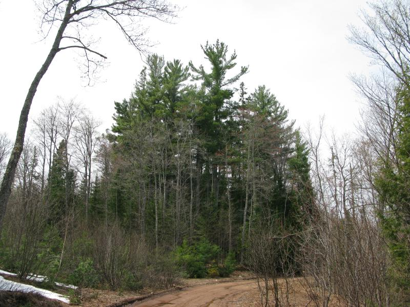 Towering pines over Globe Mine Road