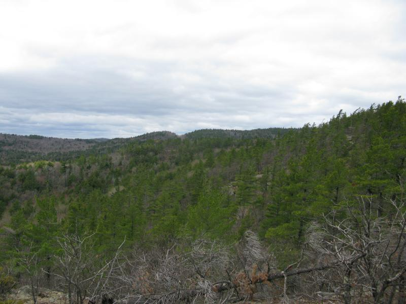 Acres and acres of pines on Mount Benison