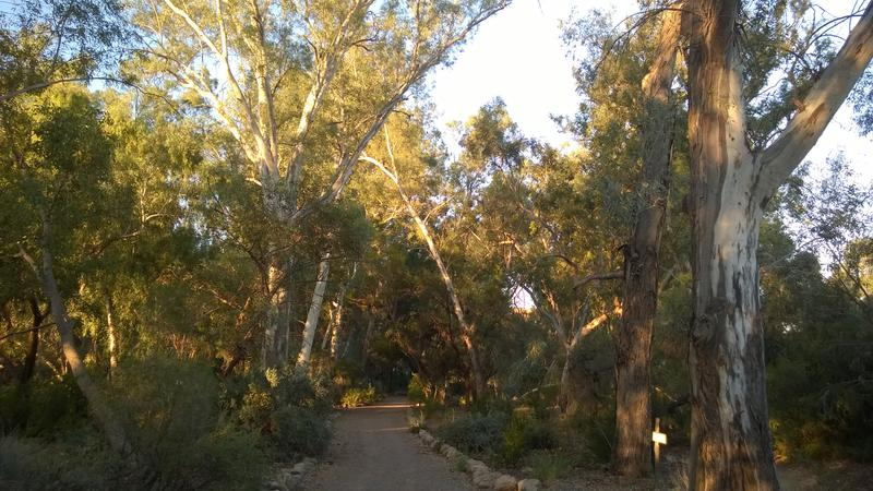In the forest of the massive eucalyptus trees