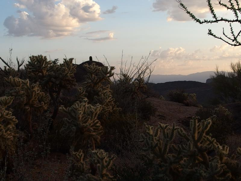 Dim lighting on cholla trees