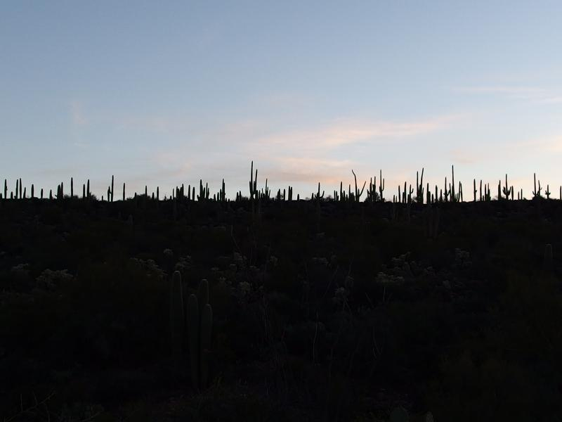 Thick forest of saguaro above the desert